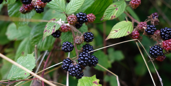 blackberries-autumn-foods-good-hemp